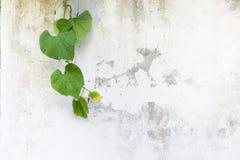зеленый цвет выходит белизна стены стоковые изображения rf