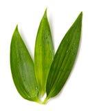 зеленый цвет выходит богачи Стоковая Фотография