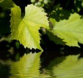 зеленый цвет выходит вино стоковые изображения rf