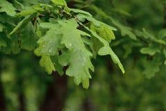 зеленый цвет выходит дождь Стоковое Изображение