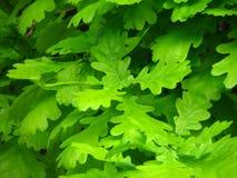 зеленый цвет выходит дуб Стоковые Изображения
