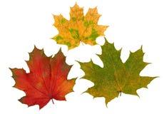 зеленый цвет выходит клену красный желтый цвет Стоковые Фотографии RF