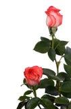 зеленый цвет выходит красные розы Стоковые Изображения