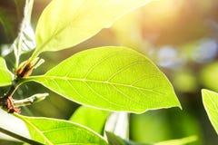 Зеленый цвет выходит лист завода на зеленый солнечный свет дерева Стоковые Изображения RF