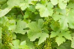 зеленый цвет выходит лоза Стоковые Изображения RF