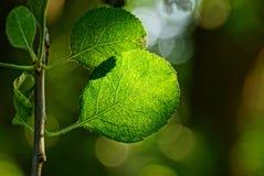 Зеленый цвет выходит на ветвь дерева в солнечный свет Стоковые Изображения