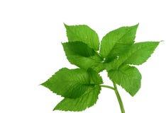 зеленый цвет выходит новым Стоковое Фото