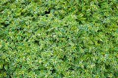 Зеленый цвет выходит обои естественной предпосылки, текстура лист, листьев с космосом для текста стоковое фото rf