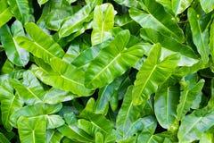 Зеленый цвет выходит предпосылка или естественно огораживает идеал текстуры для пользы в дизайне справедливо Стоковое фото RF