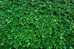 Зеленый цвет выходит предпосылка или естественно огораживает идеал текстуры для пользы в дизайне справедливо Стоковые Фотографии RF