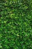 Зеленый цвет выходит предпосылка или естественно огораживает идеал текстуры для пользы в дизайне справедливо Стоковая Фотография