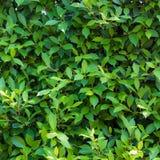 Зеленый цвет выходит предпосылка или естественно огораживает идеал текстуры для пользы в дизайне справедливо Стоковые Фото