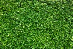 Зеленый цвет выходит предпосылка или естественно огораживает идеал текстуры для пользы в дизайне справедливо Стоковая Фотография RF