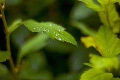 Зеленый цвет выходит с падениями росы после дождя с запачканным backgro стоковое изображение rf
