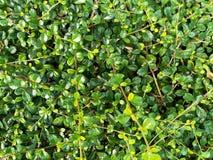 Зеленый цвет выходит текстура стены с для предпосылкой Стоковая Фотография