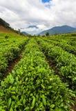 зеленый цвет выходит чай конец вверх Плантации чая стоковые фото