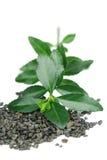 зеленый цвет выходит чай Стоковые Изображения RF