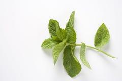 зеленый цвет выходит mentha Стоковые Фото