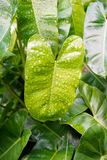 зеленый цвет выходит philodendron Стоковые Изображения