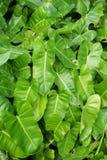 зеленый цвет выходит philodendron Стоковое Фото