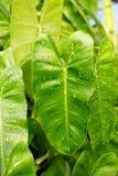зеленый цвет выходит philodendron Стоковое Изображение