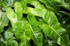 зеленый цвет выходит philodendron Стоковые Фотографии RF