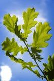 зеленый цвет выходит вал дуба Стоковое Фото