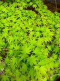 зеленый цвет выходит клен Стоковые Изображения RF