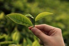 зеленый цвет выходит чай Стоковое Изображение RF