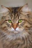 зеленый цвет глаз кота Стоковые Фотографии RF