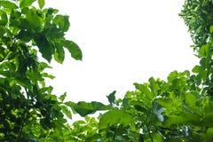зеленый цвет граници выходит груша Рамка лист дерева изолированная на белом backgroun Стоковые Фотографии RF