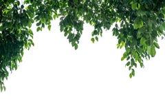 зеленый цвет граници выходит груша Рамка лист дерева изолированная на белом backgroun Стоковые Изображения
