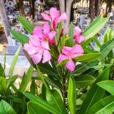 Зеленый цвет Греции погоста цветка розовый стоковое фото rf