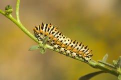 зеленый цвет гусеницы предпосылки Стоковые Фотографии RF