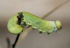зеленый цвет гусеницы Стоковое Изображение