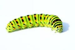 зеленый цвет гусеницы Стоковые Изображения
