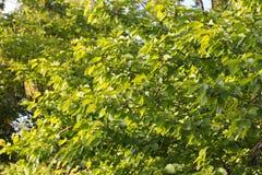 Зеленый цвет дерева абрикоса Стоковая Фотография RF
