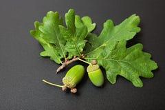 зеленый цвет жолудя стоковые фотографии rf