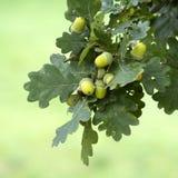 зеленый цвет жолудя Стоковые Фото