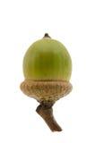 зеленый цвет жолудя Стоковое Изображение RF