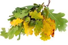 зеленый цвет жолудей Стоковая Фотография