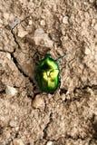 зеленый цвет жука Стоковое Изображение RF