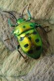 зеленый цвет жука Стоковые Фотографии RF