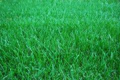 зеленый цвет злаковика стоковое фото