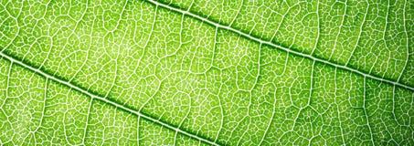 Зеленый цвет знамени сети выходит предпосылка текстуры макроса Стоковое фото RF