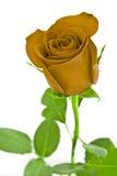 зеленый цвет изолировал желтый цвет розы листьев белый Стоковая Фотография