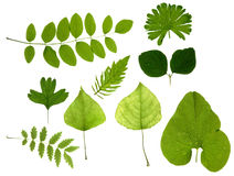 зеленый цвет изолировал листья Стоковые Изображения RF