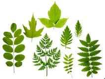зеленый цвет изолировал листья Стоковые Фотографии RF