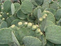 зеленый цвет кактуса Стоковое Изображение