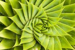зеленый цвет кактуса Стоковые Изображения RF